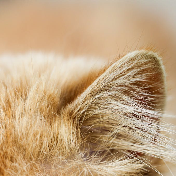 Cats and the art of turning a deaf ear