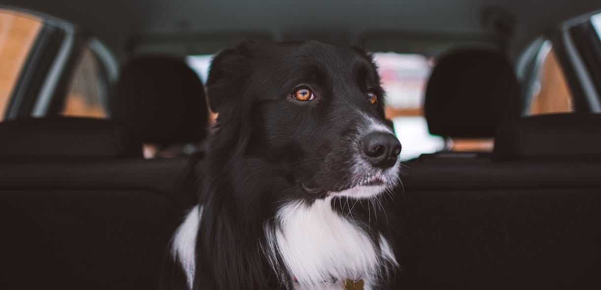 How to reduce your animal's travel sickness