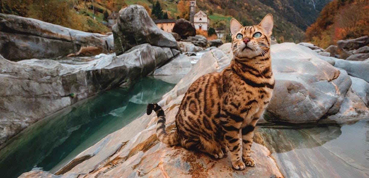 A Bengal cat in nature