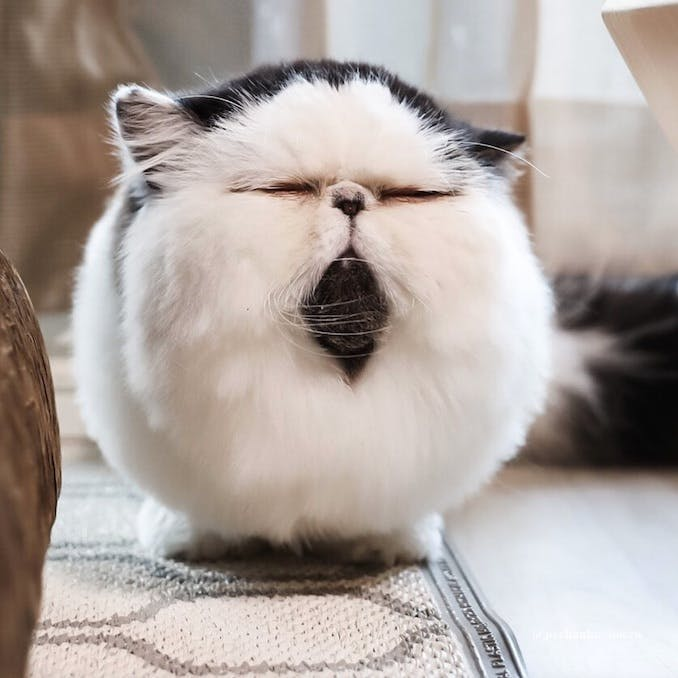Zuu, the cat with the fluffy cotton-ball face
