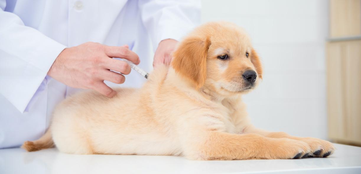 Vaccinating our faithful four-legged friends