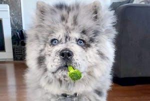 The dog who looks like an Oreo
