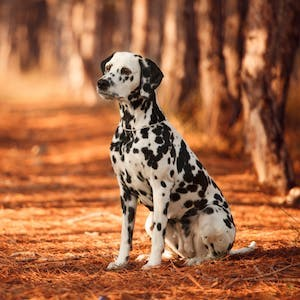 Dalmatian, the firefighter's favourite breed