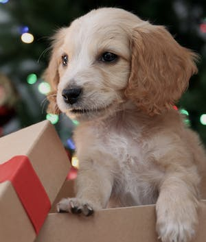 Gifting a companion animal: 4 pieces of advice