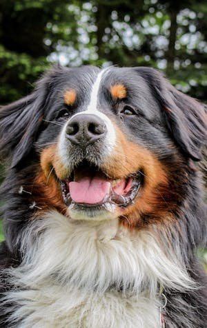 The Bernese Mountain Dog