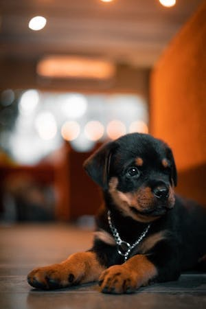 Five dog breeds that require a big budget
