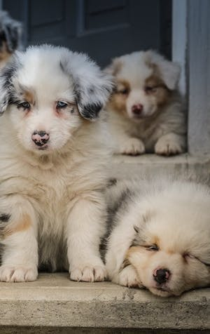 Adopting a puppy during a pandemic: think about it carefully!