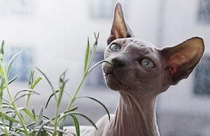 "1966. The year the ""sphynx"" was born"