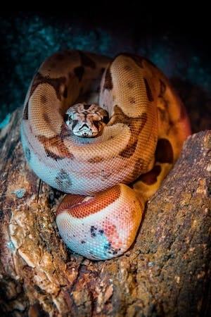 The oldest snake