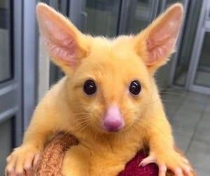 A possum straight out of Pokémon