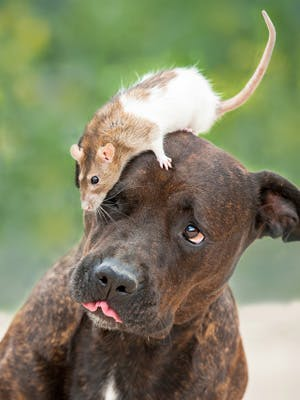 Big city living: Dogs and the danger of rats