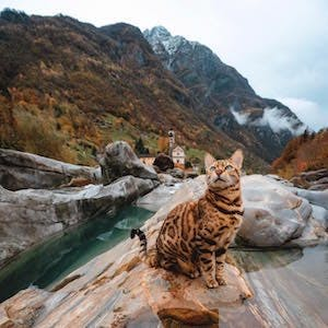 A Bengal cat in nature