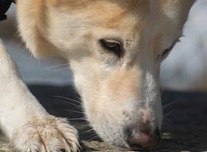 Dogs to detect the coronavirus?