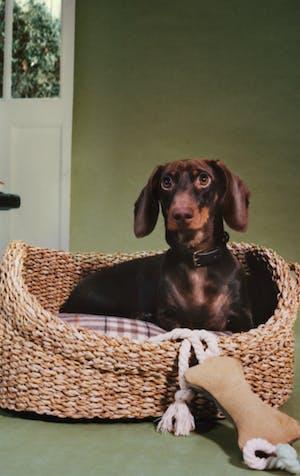 Fashion for a hip hound
