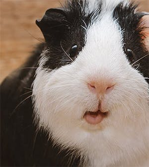 Honey, I'd like to get a guinea pig
