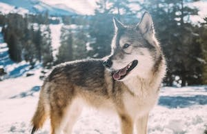 The origins of dog domestication