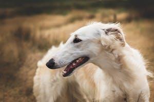 10 most astonishing dog breeds