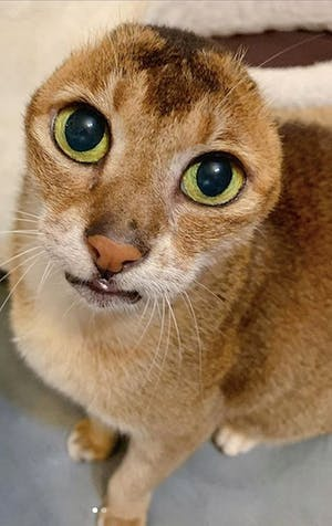 Potato: The sweet cat who has no ears