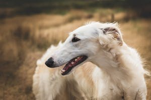 10 races de chiens les plus étonnantes